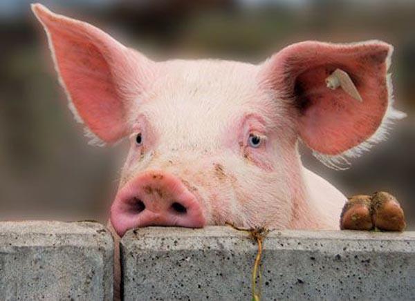 УКременчуцькому районі зафіксували спалах АЧС— під ліквідацію потраплять 1800 свиней
