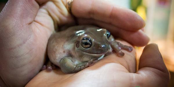 В Кременчуге появилась жаба, которая способна запросто сломать человеку палец