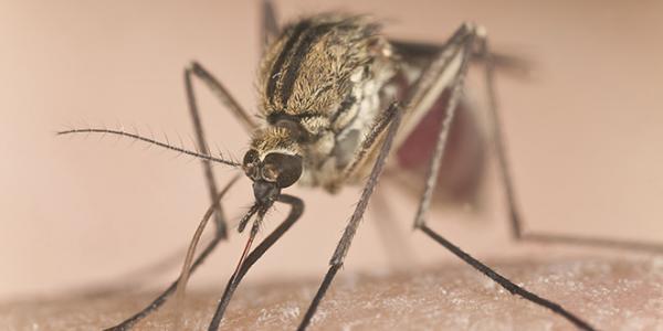 Небезпечне вірусне захворювання переноситься комарами і воронами та вражає переважно молодь.
