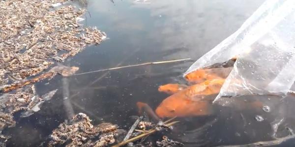 Жители Горишних Плавней сами зарыбляют озеро, пока горсовет проводит тендер на его благоустройство