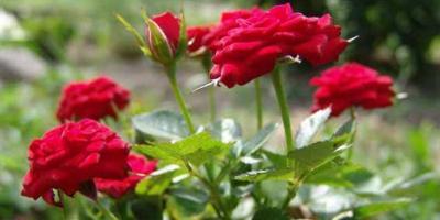 В Кременчуге патрульные задержали «похитителя» роз