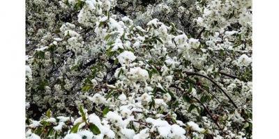 Апрельский снег: промозгло, опасно для урожая, зато красиво