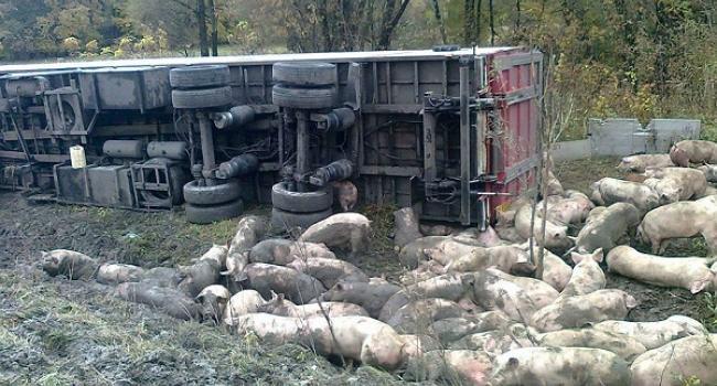 На трасі перевернулася фура, яка перевозила свиней