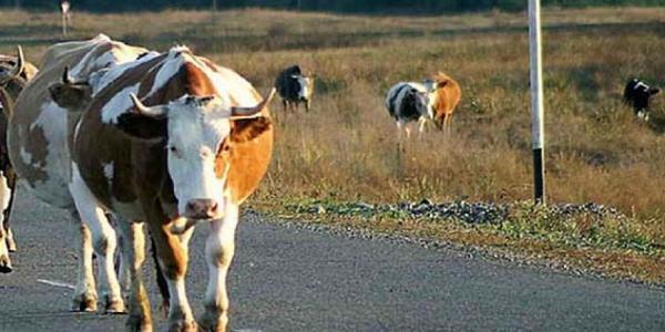 Машина в Кременчуге столкнулась с коровой (дополнено)