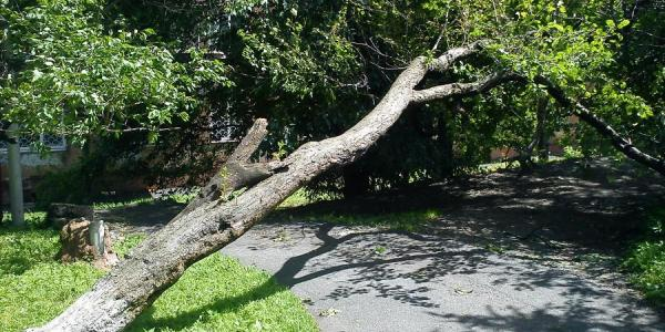 Три дерева упали в Кременчуге от ветра