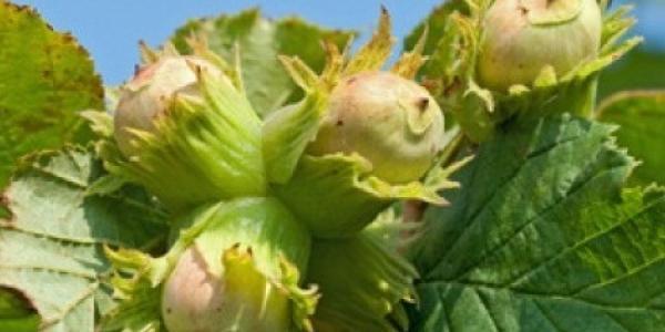 Злоумышленники украли у кременчужанки целую «ореховую рощу»
