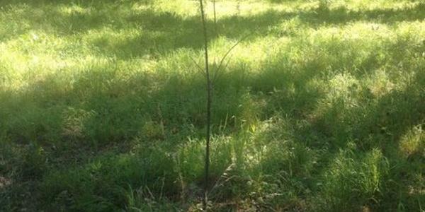 В Приднепровском парке засох дуб, высаженный в память о жертвах Катыни