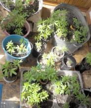 Кременчужанин выращивал «плантацию» конопли у себя на балконе-фото