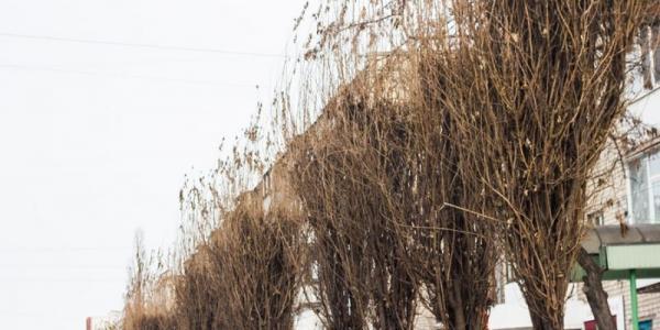 В Кременчуге 300 деревьев уже «попали» под топор, но и это еще не все
