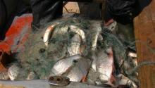 На рынках города изъято больше 100 кг рыбы с икрой