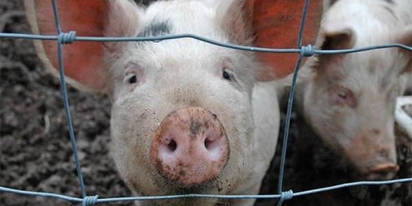 На Полтавщине снова обнаружена африканская чума свиней