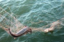 """Рыба будет нереститься под защитой """"кошек"""" и милиционеров"""