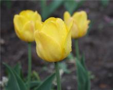 Клумбы Кременчуга в этом году тюльпаны украшать не будут
