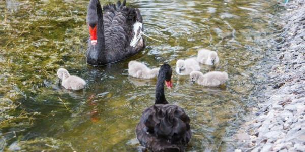 В Кременчуге лебединая семья обзавелась потомством