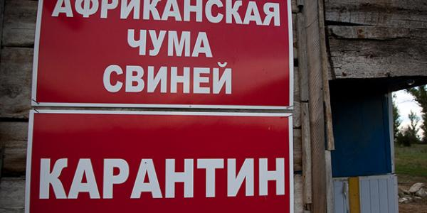 На Полтавщине чума свиней распространяется по причине типичной для Украины системы хозяйствования