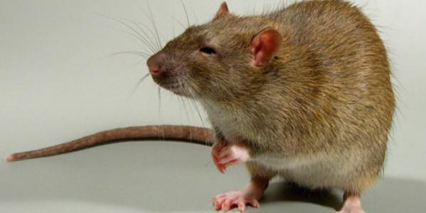 В Кременчуге опять ребенок отравился крысиным ядом