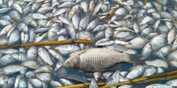 В Глобино обнаружена массовая гибель рыбы