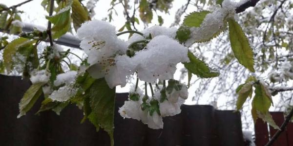 Черешня, вишня, полуниця, яблука та абрикоси на Полтавщині цьогоріч будуть у дефіциті
