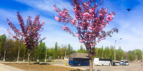 Японские вишни начали свое цветение в Кременчуге