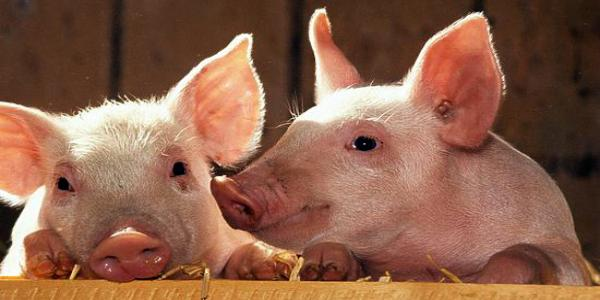 В Кременчугском районе подростки умудрились продать чужих свиней