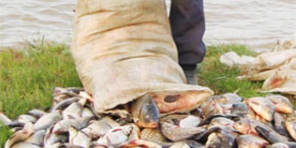 На Полтавщині браконьєри виловили більше 4 тон риби під час нересту