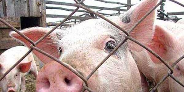 На Полтавщине зафиксирован третий за неделю очаг африканской чумы свиней