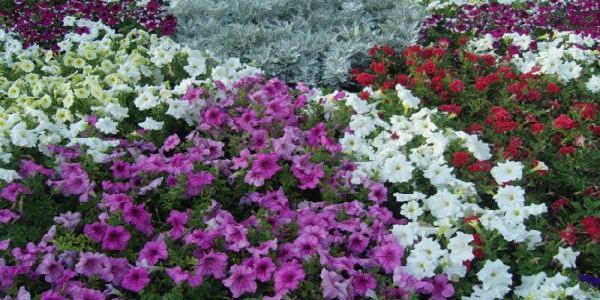 Погребной выиграл миллионный тендер на поставку цветов для клумб Горишних Плавней