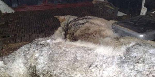 На территории Новосанжарского лесхоза проходят охотничьи облавы - застрелено два волка