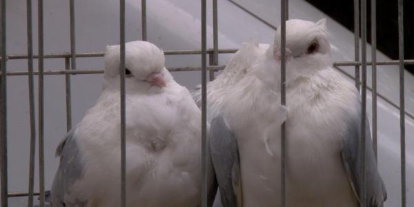 """На Полуничний фестиваль """"запросили"""" птахів миру та домашніх улюбленців"""