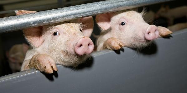 Названы вероятные причины вспышки африканской чумы свиней на ферме под Кременчугом