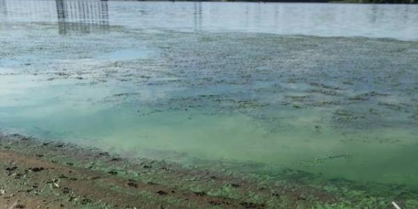 """Дніпро вже """"цвіте"""" протягом року: вода втратила здатність самоочищатися"""