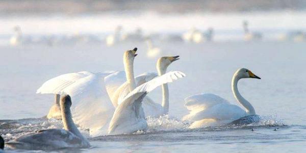 Більше 50 лебедів залишилось серед замерзлого Кременчуцького водосховища