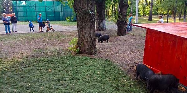 Свиней із Міського саду приберуть, бо вони створили там свинарник
