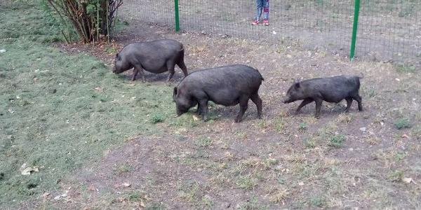Директору Міського саду мер Кременчука дозволить розводити на території парку, окрім свиней, ще й кіз