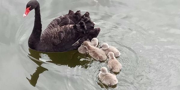 Кременчугских лебедей из Городского сада отвезли на зимовку к Погребному