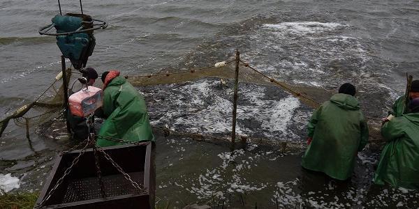 У Кременчуцькому морі додалося мешканців: сьогодні випустили 20 тонн малька товстолоба