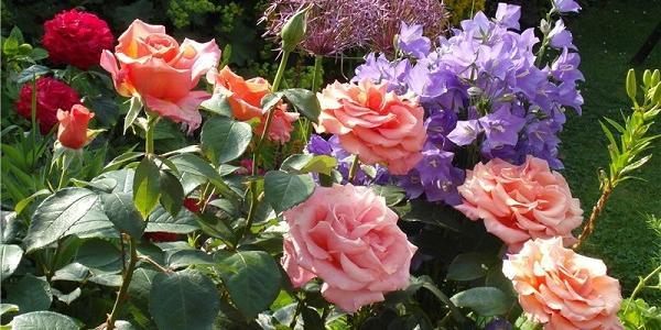 Знищувачам кременчуцьких троянд «впаяли» 680 гривень штрафу