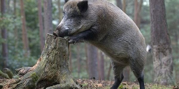 На Полтавщині депопулюють диких кабанів