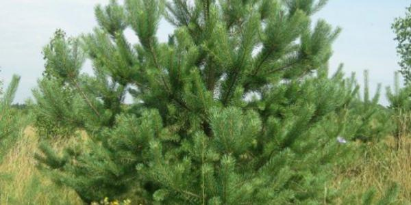 Кременчужани зможуть купити новорічні ялинки в лісгоспі від 37 грн