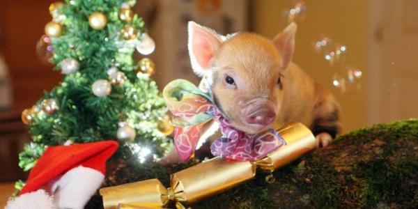 С монеткой в шампанском: встречаем Новый год так, чтобы понравилось Свинье