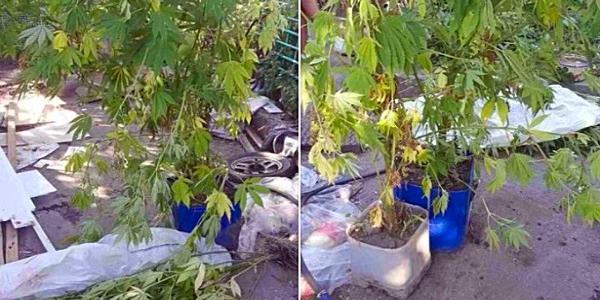 Юний городник: 20-річний кременчужанин вирощував нарковмісну коноплю серед помідорів