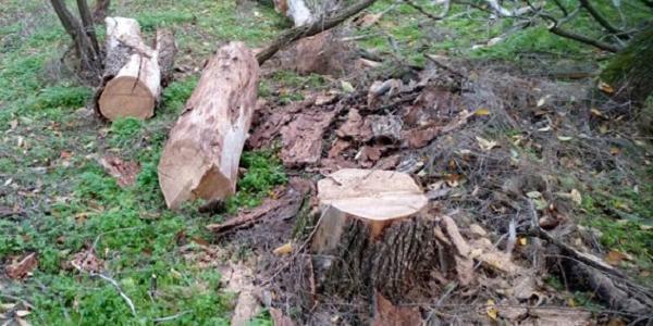 Під Кременчуком дядько нарубав собі дров, як мінімум на штраф, як максимум – на обмеження волі