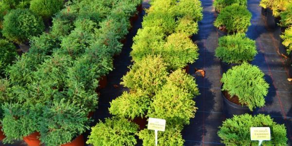 Опитування: Чи потрібні Кременчуку у цьому році закупівлі квітів, дерев, кущів та саджанців на понад 6 млн грн?