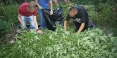 В Кременчуге «собрали урожай» конопли