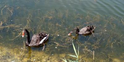 Гриша не радий сусідству: в озеро в Міському саду Кременчука випустили декоративних коропів