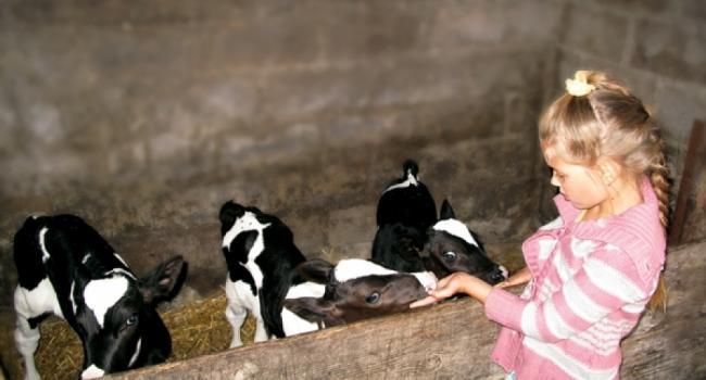 Уникальный случай в Кременчугском районе: корова отелилась тройней