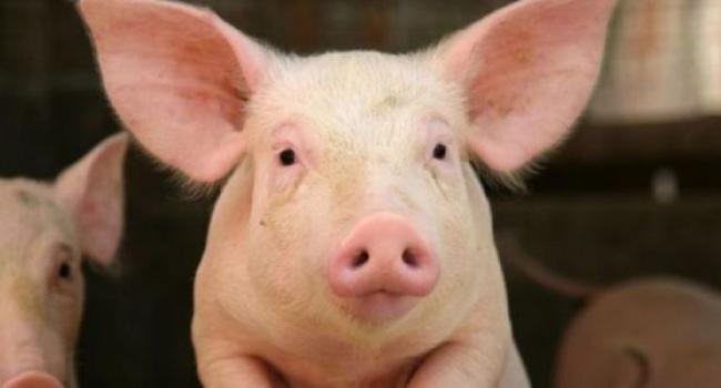 Фермер из Полтавщины «купил» африканскую чуму свиней на стихийном рынке