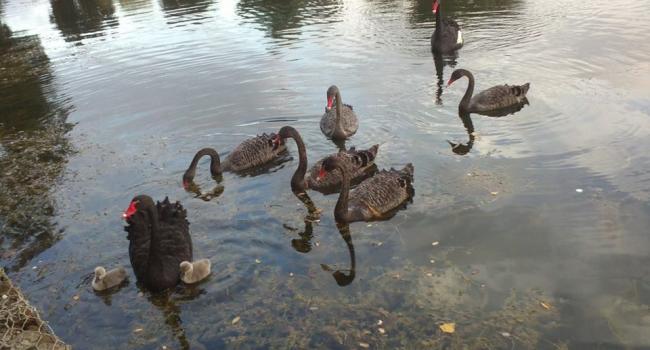 Кременчугских лебедей из Городского сада забрали на зимовку