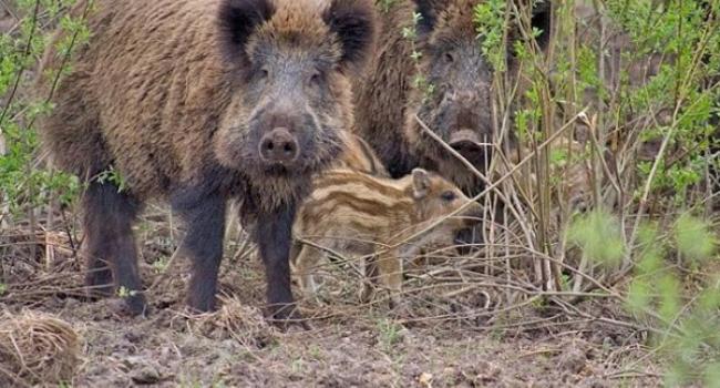 На Полтавщині через чуму свиней регулюватимуть популяцію диких кабанів